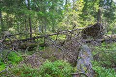 Upprooted träd arkivfoton