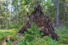 Upprooted träd royaltyfri bild