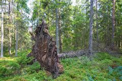 Upprooted tree Stock Images