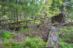 Upprooted tree Royalty Free Stock Photos