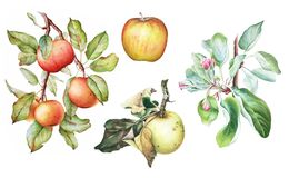 Uppsättning av äppleträdfilialerna med frukter Arkivfoton