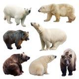 Uppsättning av björnar över vit Arkivfoto