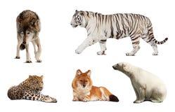 Uppsättning av Carnivoradäggdjur Royaltyfri Fotografi