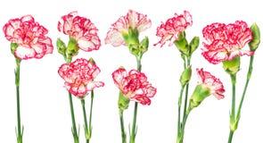 Uppsättning av den blommande nejlikan arkivfoton