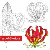 Uppsättning av den Gloriosa superbaen eller flammalilja, tropisk blomma och blad som isoleras på vit bakgrund Giftig växt Royaltyfria Foton