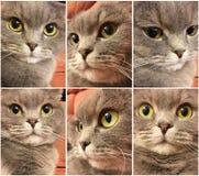 Uppsättning av den roliga kattframsidan Rolig framsida av den skotska veckkatten med stora orange ögon Roliga kattklistermärkear Royaltyfria Foton