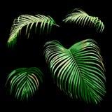 Uppsättning av den tropiska gröna arecapalmbladet, växtvektorillustration Arkivbild
