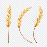 Uppsättning av det realistiska örat av vete eller ris på isolerad bakgrund, arkivbild