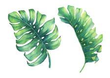 Uppsättning av det stora tropiska gröna bladet av den Monstera växten Arkivbilder