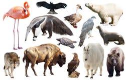 Uppsättning av faunor av norden - amerikanska djur Fotografering för Bildbyråer