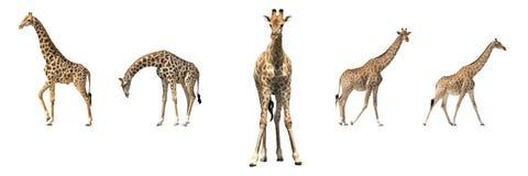 Uppsättning av fem afrikanska giraff i olika posings Royaltyfri Fotografi