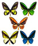 Uppsättning av fem tropiska isolerade Ornithoptera birdwing fjärilar Royaltyfria Bilder