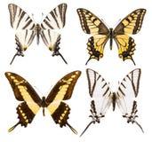 Uppsättning av fyra isolerade swallowtailfjärilar Royaltyfri Foto