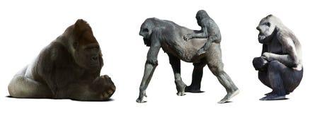 Uppsättning av gorillor Isolerat på vit royaltyfri foto