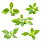 Uppsättning av gröna nya blad för söt basilika som isoleras på vit bakgrund Royaltyfri Fotografi