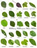 Uppsättning av gröna sidor av träd och buskar med namn Fotografering för Bildbyråer
