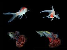 Uppsättning av guld- fishs royaltyfri foto