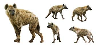 Uppsättning av hyenor Isolerat över vitbakgrund royaltyfri bild