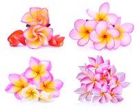 Uppsättning av isolerade frangipani eller tropiska blommor för plumeria Fotografering för Bildbyråer