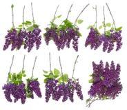 Uppsättning av isolerade lila filialer Arkivbilder