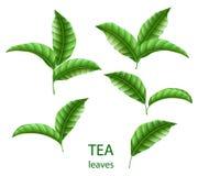 Uppsättning av isolerade realistiska gröna teblad Grönt te för ditt design, advertizing och förpacka Blom- beståndsdelar för vekt royaltyfri illustrationer
