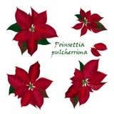 Uppsättning av julstjärnablommor Royaltyfri Foto