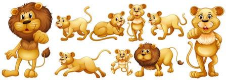 Uppsättning av lösa lejon vektor illustrationer