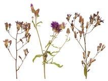 Uppsättning av lösa torra pressande blommor och sidor Arkivbilder