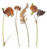 Uppsättning av lösa torra pressande blommor och sidor Arkivfoto