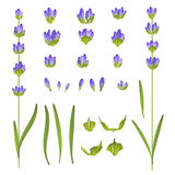 Uppsättning av lavendelblommor Arkivfoton