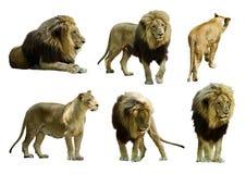 Uppsättning av lejon Isolerat över vit Royaltyfri Foto