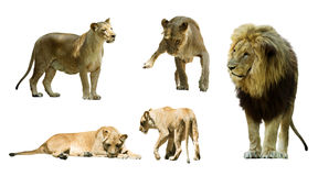 Uppsättning av lejon isolerat Arkivfoto