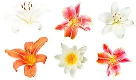 Uppsättning av liljablommor som isoleras på vit Royaltyfri Fotografi