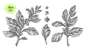 Uppsättning av matta trädfilialer Botanisk teckning vektor vektor illustrationer