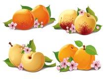 Uppsättning av mogna aprikosar Arkivfoton