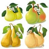 Uppsättning av mogna pears Royaltyfri Bild