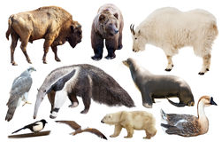 Uppsättning av nord - isolerade amerikanska djur Royaltyfri Bild