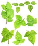 Uppsättning av nya gröna blad som isoleras med den snabba banan Royaltyfri Fotografi