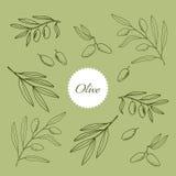 Uppsättning av olivgröna filialer Royaltyfri Illustrationer