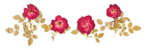 Uppsättning av pressande små torkade rosor Arkivfoto