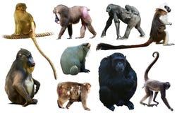 Uppsättning av primat Fotografering för Bildbyråer