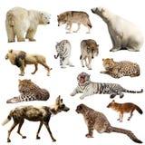 Uppsättning av rov- däggdjur över vit Royaltyfri Foto