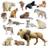 Uppsättning av rov- djur. Isolerat över vit Arkivfoto