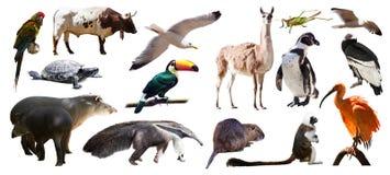 Uppsättning av söder - amerikanska djur Isolerat över vit arkivfoto