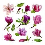 Uppsättning av separata beståndsdelar från magnoliablommor vattenfärg illustratören för illustrationen för handen för borstekol g stock illustrationer