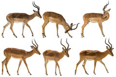 Uppsättning av sex blackfaced impala royaltyfri foto