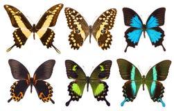 Uppsättning av sex tropiska isolerade swallowtailfjärilar Royaltyfri Fotografi