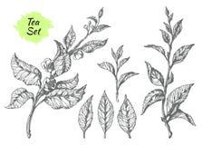Uppsättning av tebuskefilialer Botanisk teckning vektor stock illustrationer