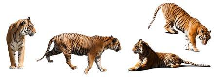 Uppsättning av tigrar över vit Arkivbilder