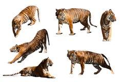 Uppsättning av tigrar Isolerat över vitbakgrund Arkivbild